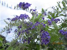 強い風に揺れる紫の花ww