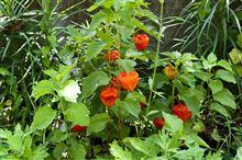 庭のほおずき2