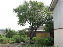 柿の木を切る(・∀・)