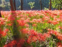 彼岸花が群生する巾着田曼珠沙華公園