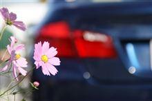 秋桜の爽やかな写真をUPして、明日の晴れ祈願・・・