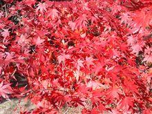 宇甘渓の紅葉が見頃です(*^_^*)