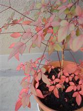 南天って、冬に紅葉するんだったかな。。。