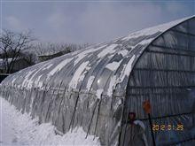 ビニールハウスの雪かきしてきました