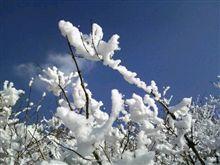 樹氷じゃなく樹雪