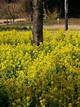 観音崎公園の菜の花