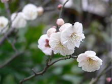 梅は~~咲いたか~~