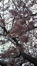 河津桜を見に行ってきました~