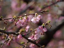 三浦半島の春 河津桜咲く