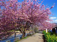 河津桜 満開です!!!
