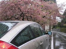 早咲きの桜で一足先に春を… 【河津】