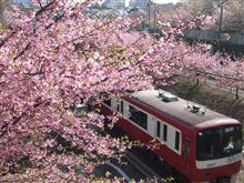 河津桜とKQ