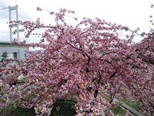 今治の河津桜