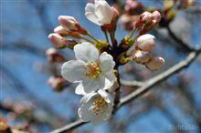 桜咲く…ランチは十割蕎麦