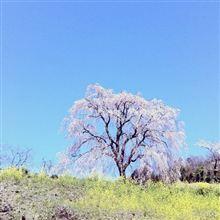 桜撮りなう