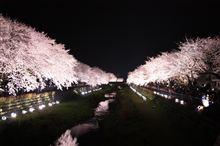 今年の「野川の夜桜ライトアップ」開催日決定!