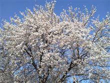 やっぱり桜に限る。