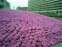 ◆◆芝桜って綺麗だよね~◆◆