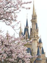 TDLの桜は満開です♪