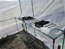チューリップ開花 と 育苗場所 移設