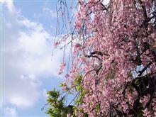 桜もあとわずか~