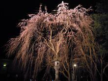 高田公園。夜桜