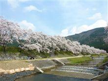 滋賀県甲賀市 うぐい川の桜