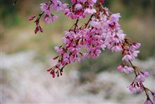 お花見ドライブ 卯辰山~四百年の森~奥卯辰