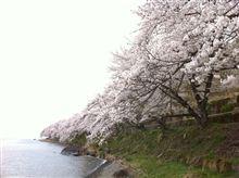 奥琵琶湖の桜♪