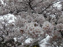 桜前線を追いかけろ!