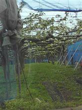 梨の花と配達