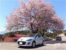 八ヶ岳南麓は桜色♪