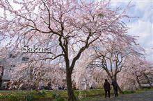 Sakura…  権谷川再会。。。