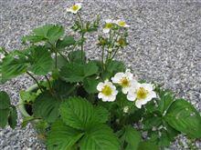 ECO☆CRZのプチ菜園~桃薫の白い花~