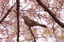 春の野鳥と