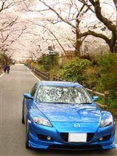 やっと阿武隈の桜を観られました(下)