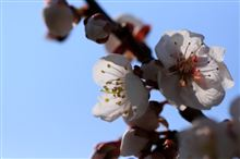 梅と桜とアルテピアッツァ 美唄