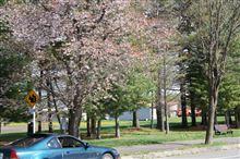 桜咲く、窓時々上がらず。