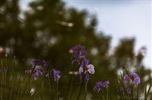 梅雨 紫陽花と花菖蒲