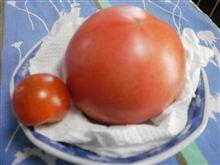 トマト収穫   6/27(水曜日)