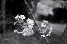 モノクロフィルムで撮った桜