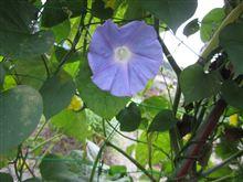 アサガオ開花