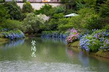 紫陽花 inひょうたん池