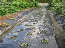 ダイコン発芽 と エダマメ収穫 その他