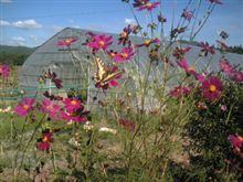 コスモスとアゲハ蝶。。。