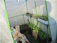 セルトレイ栽培 小カブ発芽