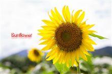 Sunflower in 大洲市五郎