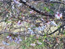 【10月27日】秋だけど、桜を見に行った。