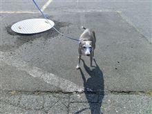ltalan greyhound
