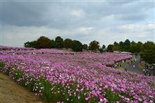 コスモス満開の昭和記念公園へ